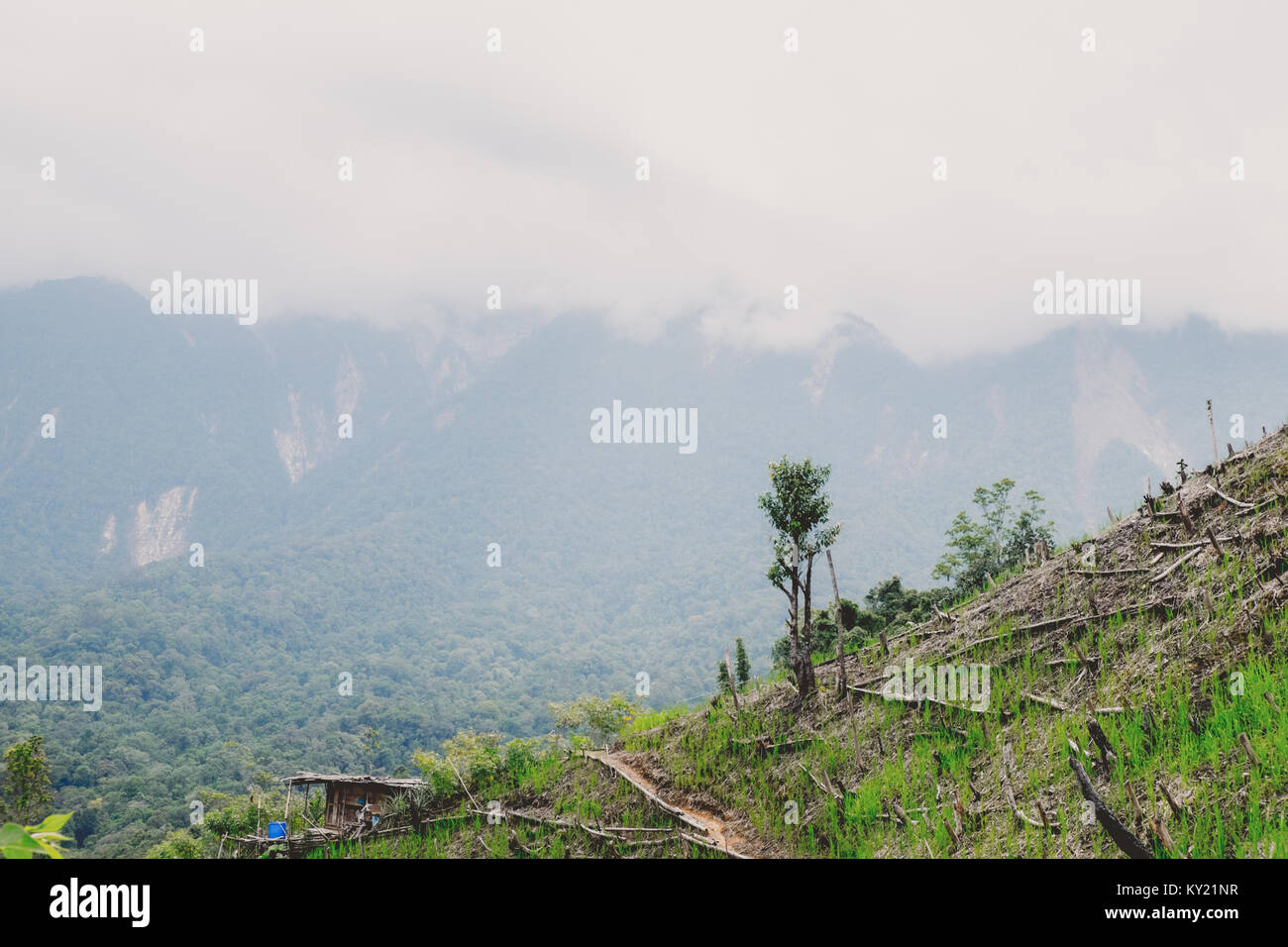 Land clearing for shifting cultivation. - Stock Image