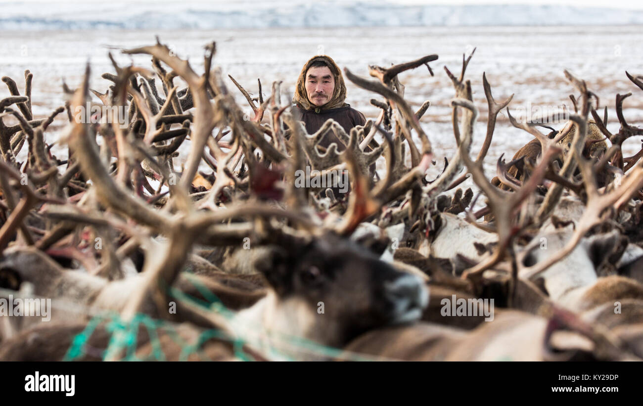 Beijing, Russia. 4th Nov, 2017. A herder corrals his reindeers into enclosure in Russia's sparsely populated - Stock Image