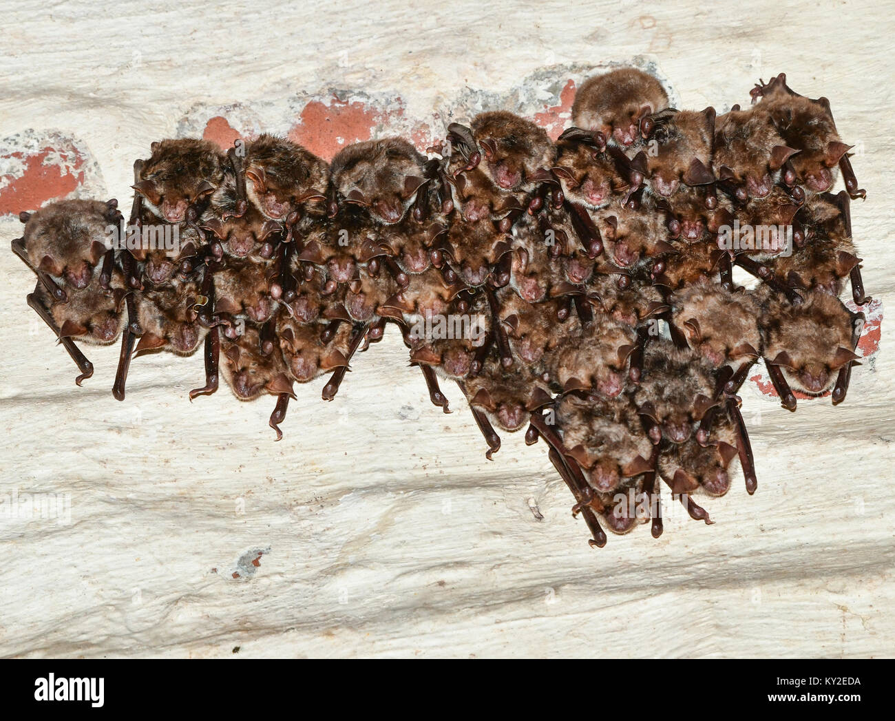 Oder, Germany. 12th Jan, 2018. A group of bats hangs from the ceiling of an old brewery in Frankfurt on the Oder, - Stock Image