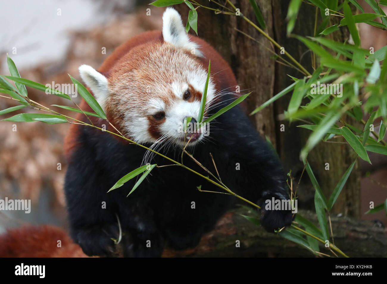 Nuremberg, Germany. 12th Jan, 2018. A small red panda (Ailurus fulgens) eating in its cage at the zoo in Nuremberg, - Stock Image