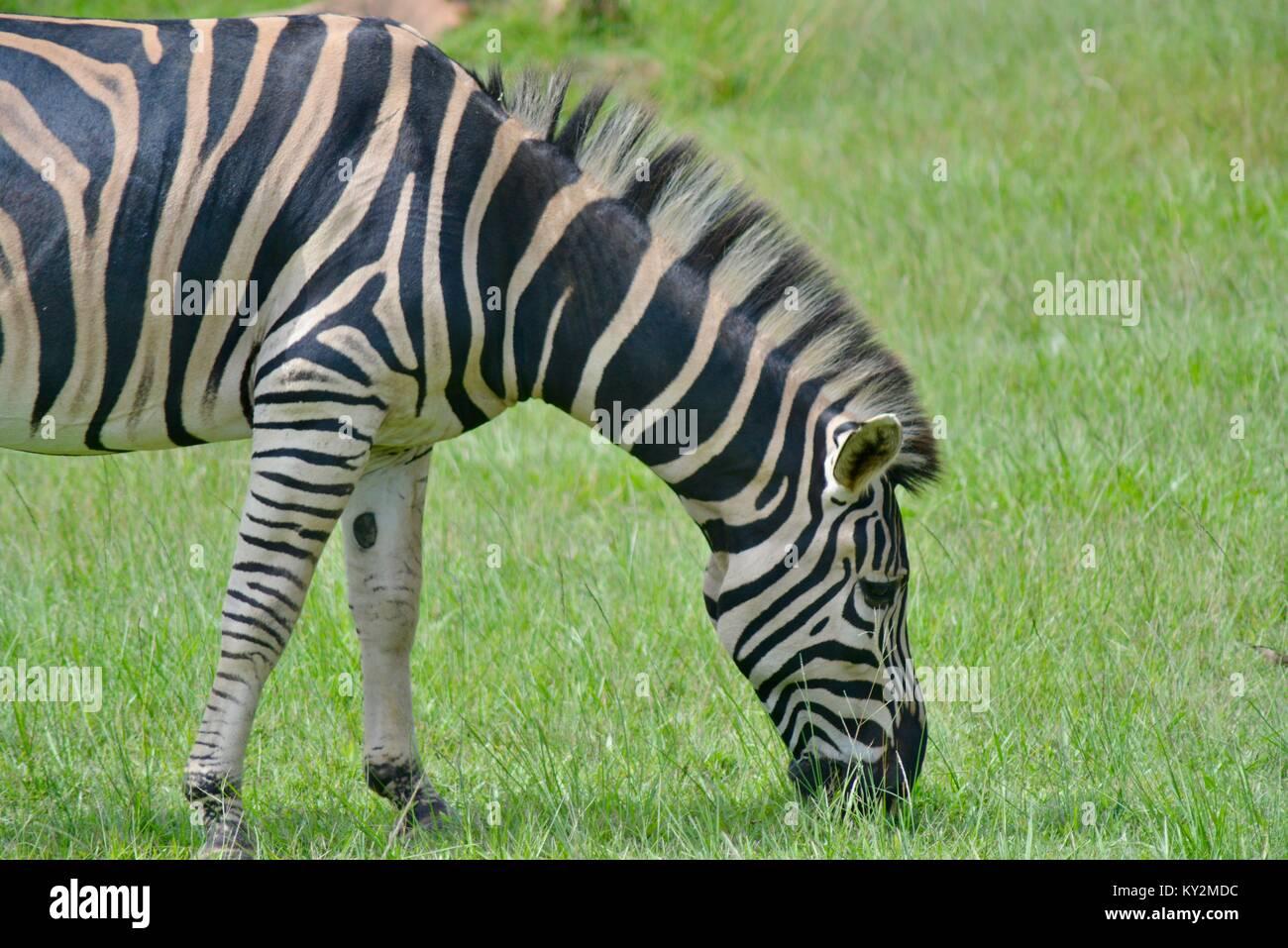 Zebra, Equus quagga, grazing Australia Zoo, Beerwah, Queensland, Australia - Stock Image
