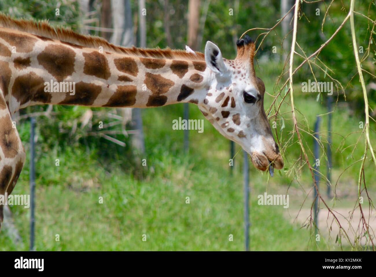 Giraffes standing tall in the grass plains of Australia Zoo, Beerwah, Queensland, Australia - Stock Image