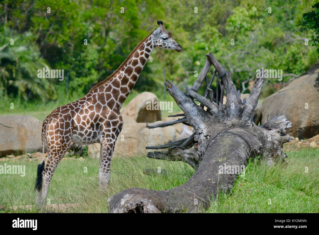 Giraffe, Giraffa camelopardalis, standing tall in the grass plains of Australia Zoo, Beerwah, Queensland, Australia - Stock Image