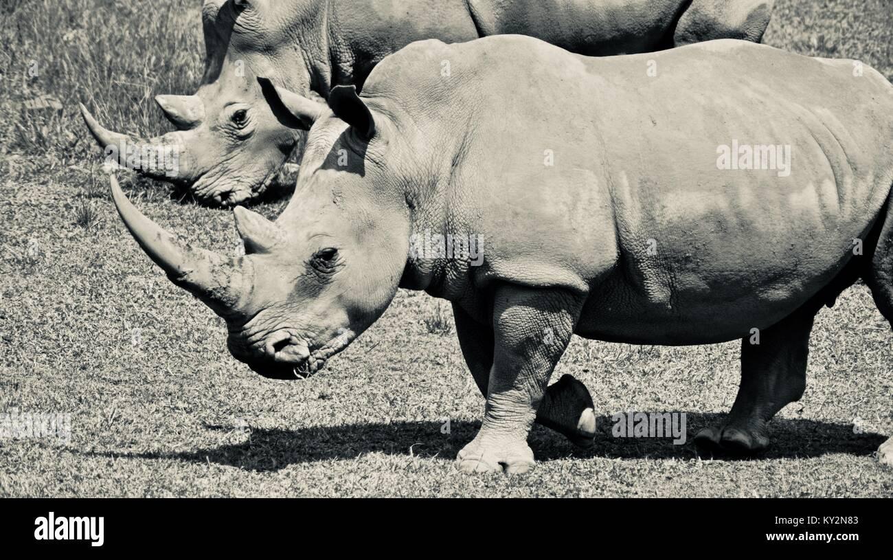 White rhinoceros, Ceratotherium simum simum, grazing on grass plains, Australia Zoo, Beerwah, Queensland, Australia - Stock Photo