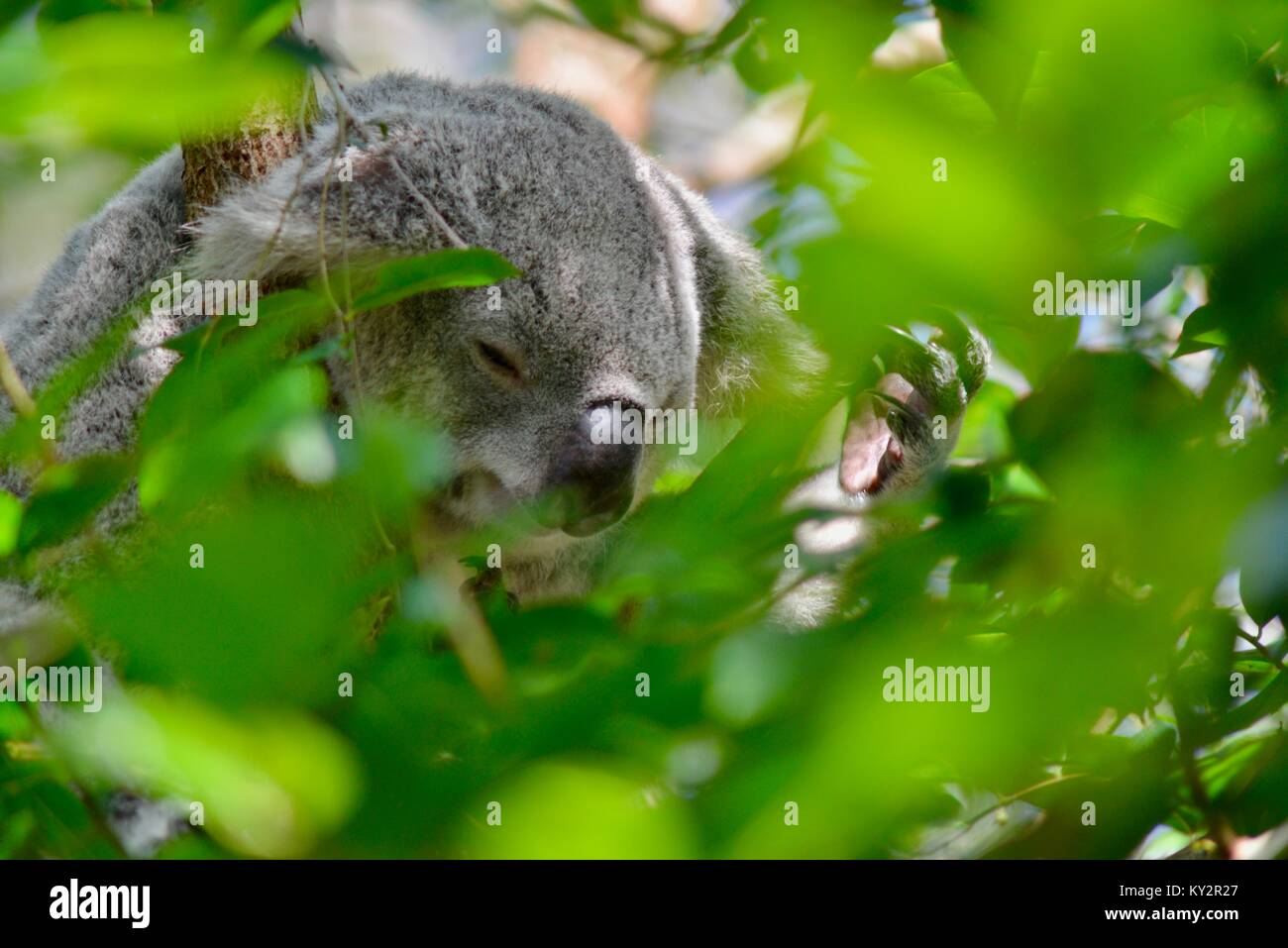 Koala, Phascolarctos cinereus, framed by eucalypt leaves, Australia Zoo, Beerwah, Queensland, Australia - Stock Image