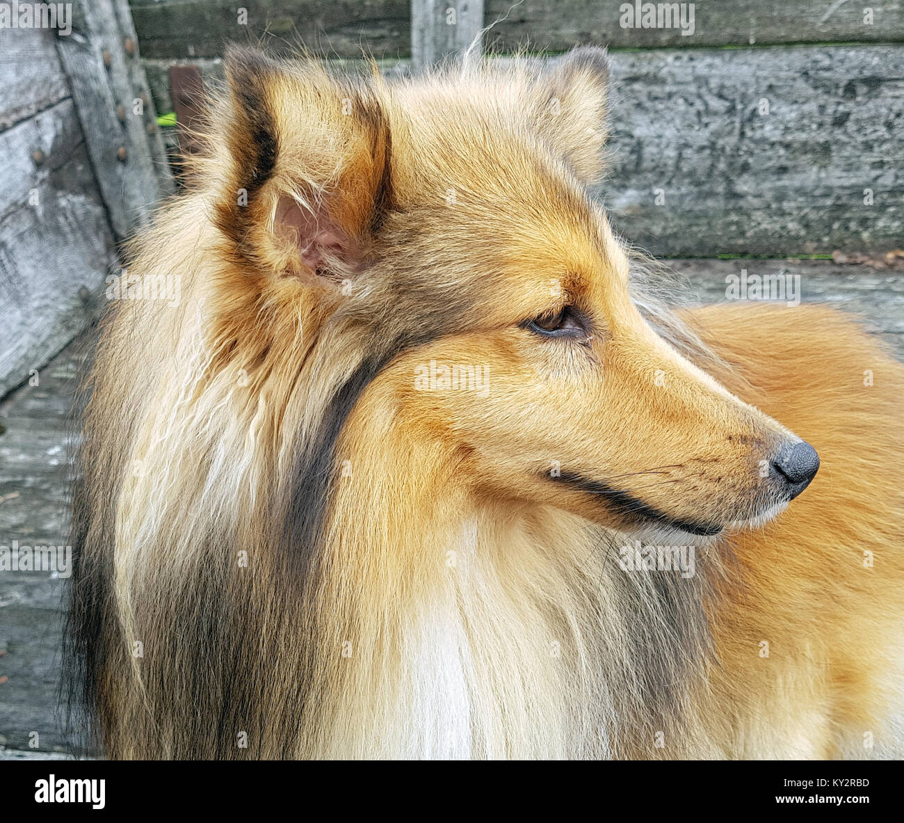 sheltie shetland sheepdog mini collie stock photo 171551281 alamy