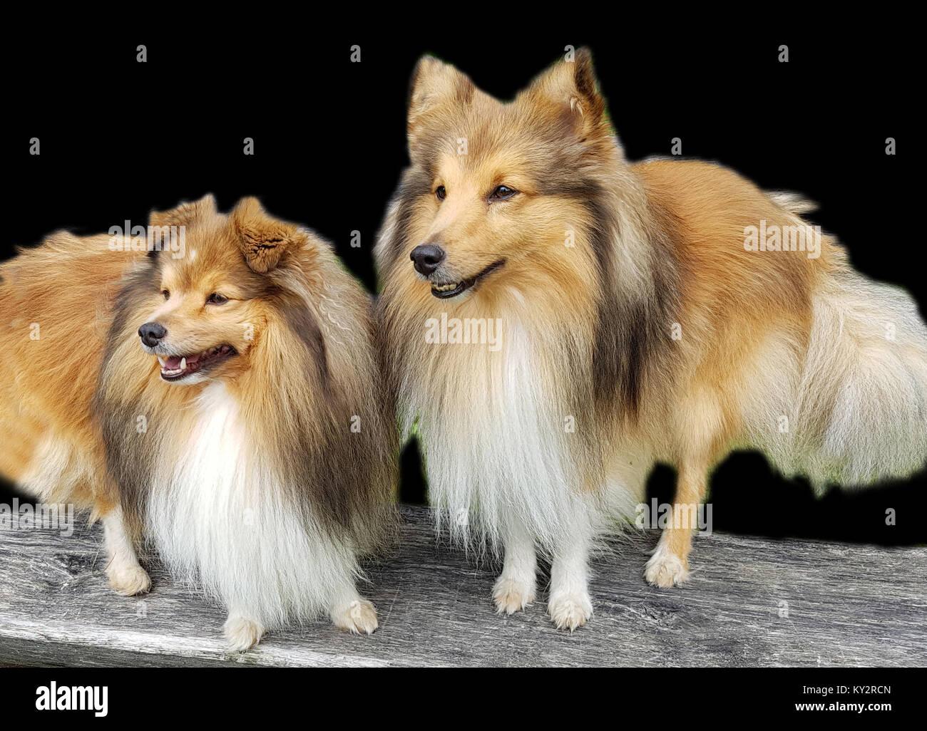 Sheltie; Shetland Sheepdog, mini collie Stock Photo