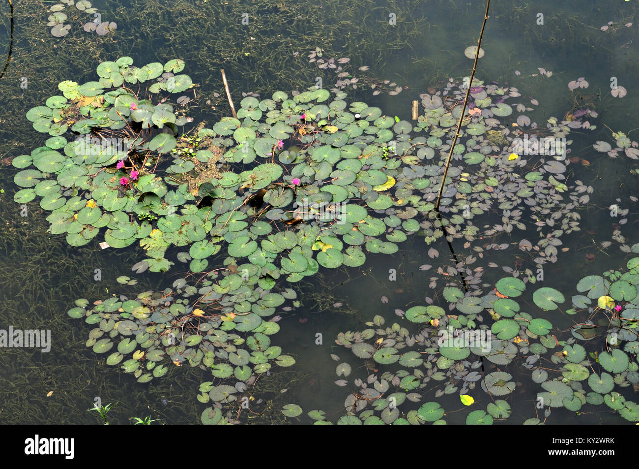 Water lilies on the lake, Ba Be National Park, north Vietnam Stock Photo