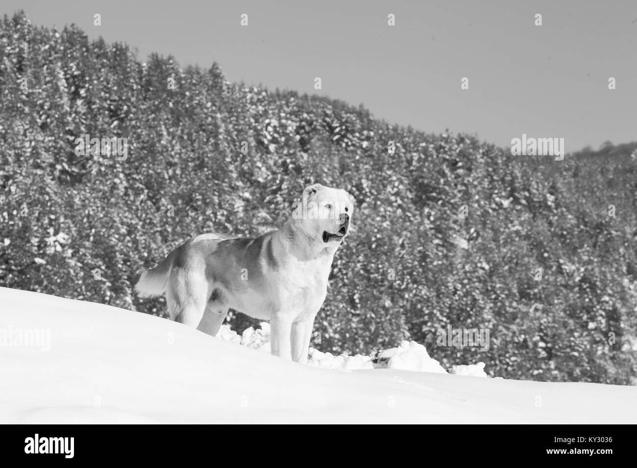Big dog guarding in winter field, alabai dog, asian shepherd, black and white dog background - Stock Image
