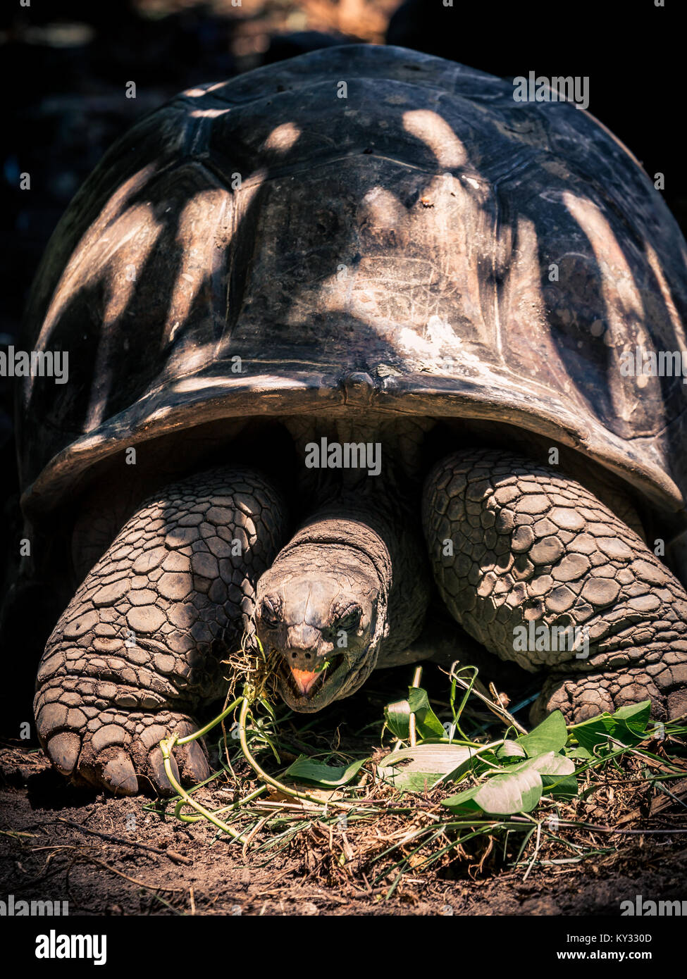 Giant Tortoise with open mouth - Stock Image