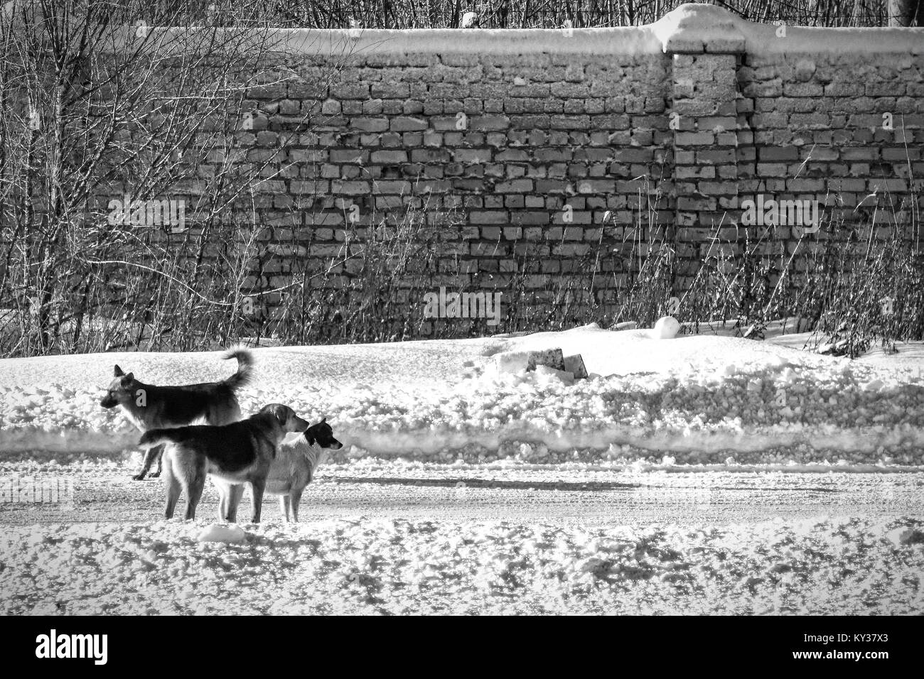 Stray dogs on the winter road. Behind the road is a brick wall. Black and white photo Stock Photo