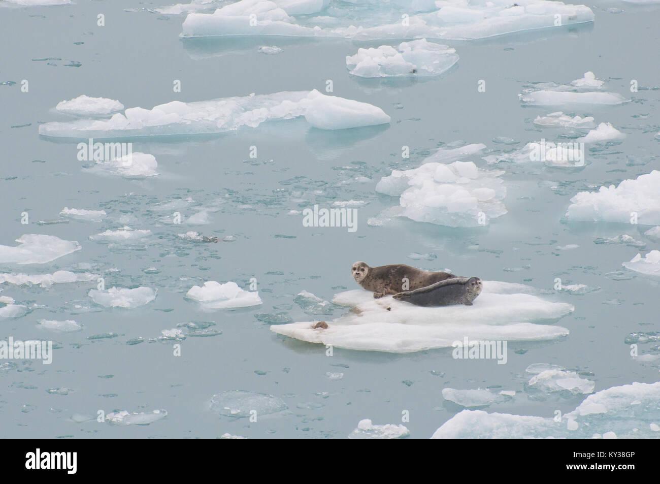 Wild seals resting on floating iceberg on sea. Stock Photo