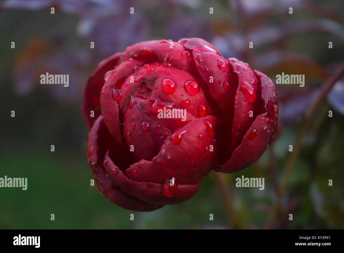 Frost Flower   Flowers, Rose