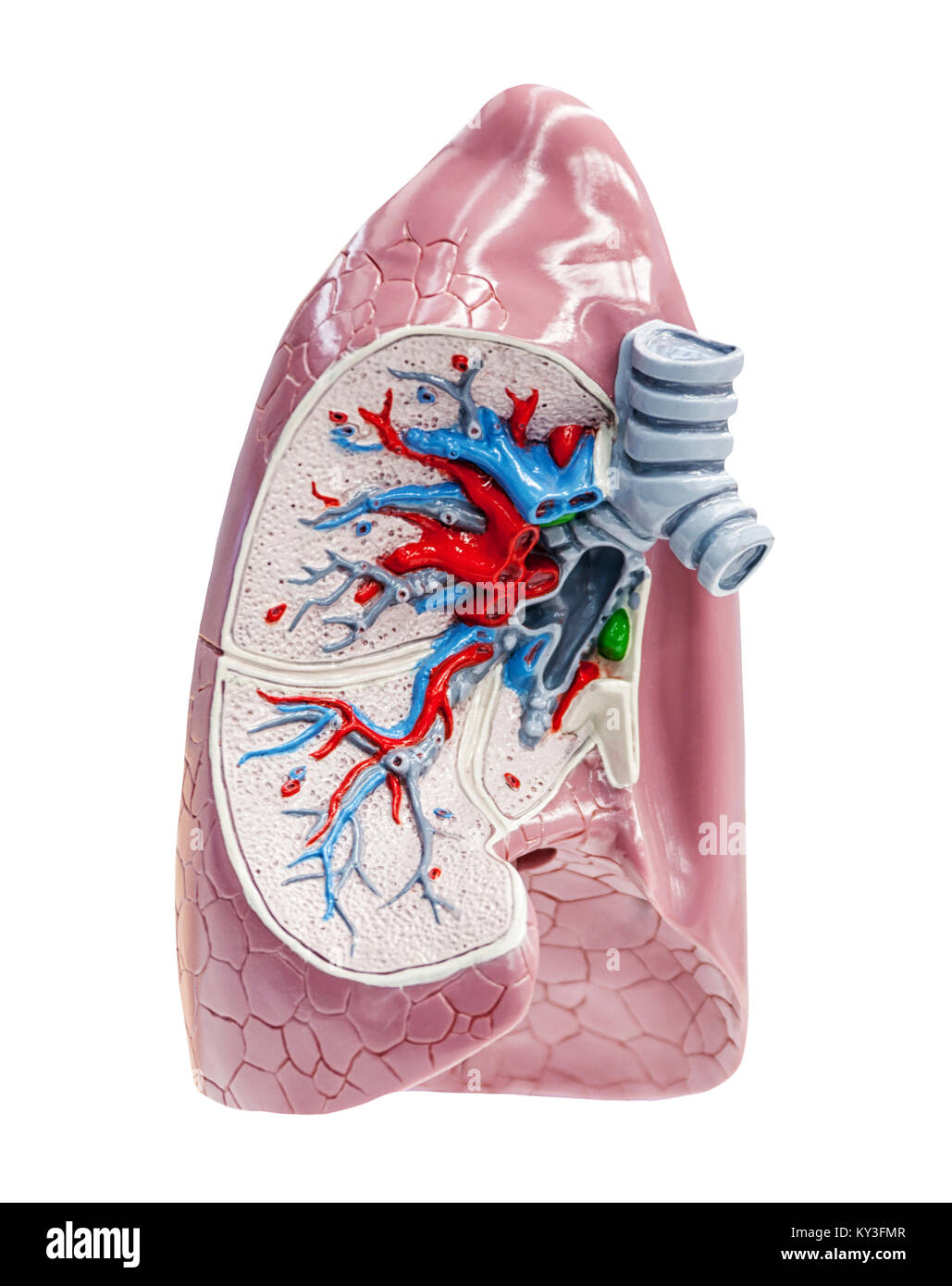Human lungs isolated on white cross section, educational view, - Stock Image