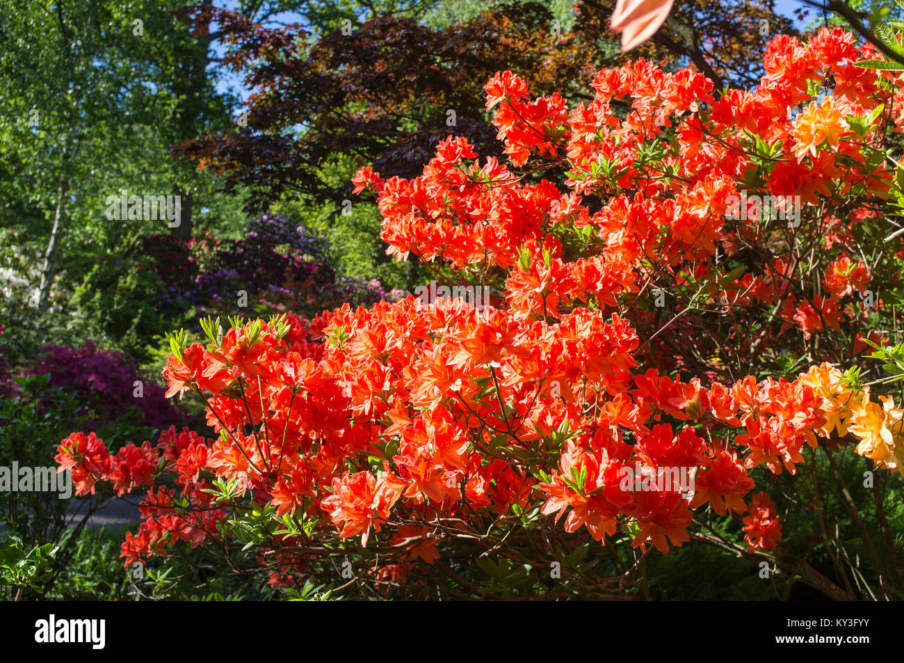 RHODODENDRONS AND AZALEAS IN WOODLAND GARDENS - Stock Image