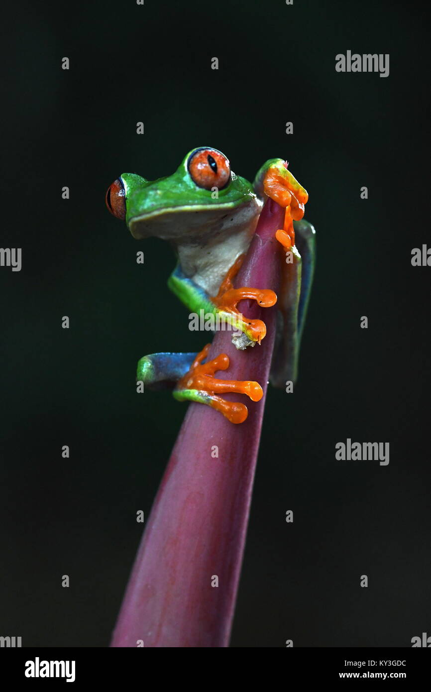 Red-eyed tree frog (Agalychnis callidryas) in Costa Rica Stock Photo