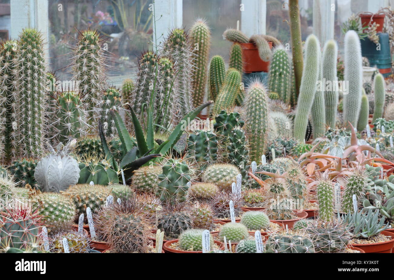 Succulent and cactus plant on display at Oakdene cactus nursery, near Barnsley, South Yorkshire, England, UK, - Stock Image