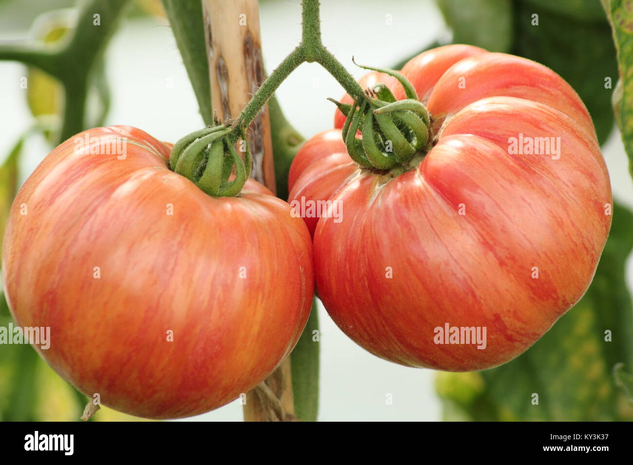 Solanum lycopersicum 'Vintage Wine' tomato plant variety growing on the vine in a greenhouse, England, UK - Stock Image