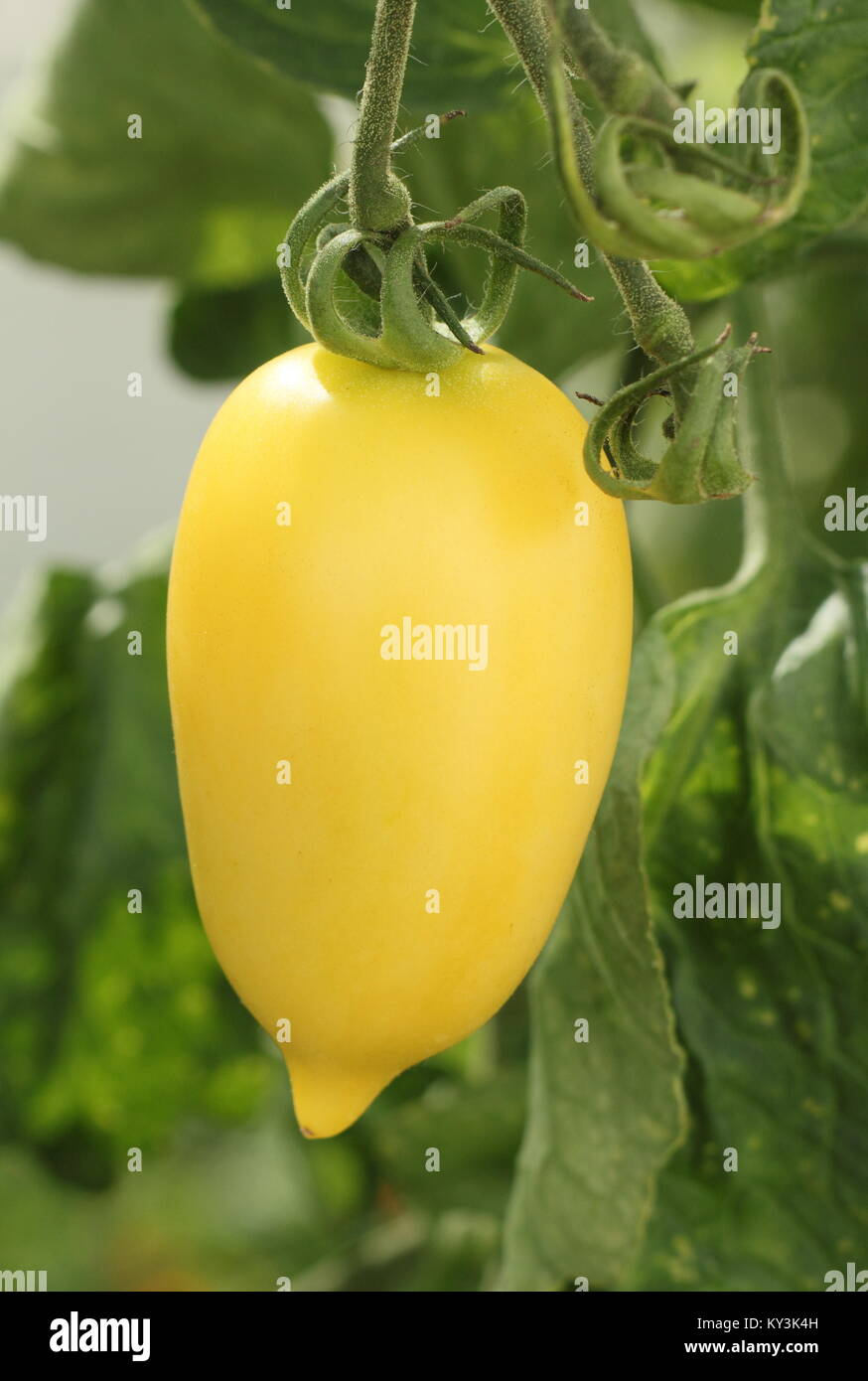 Solanum lycopersicum 'Cream Sausage' tomato plant variety growing on the vine in a greenhouse, England, - Stock Image