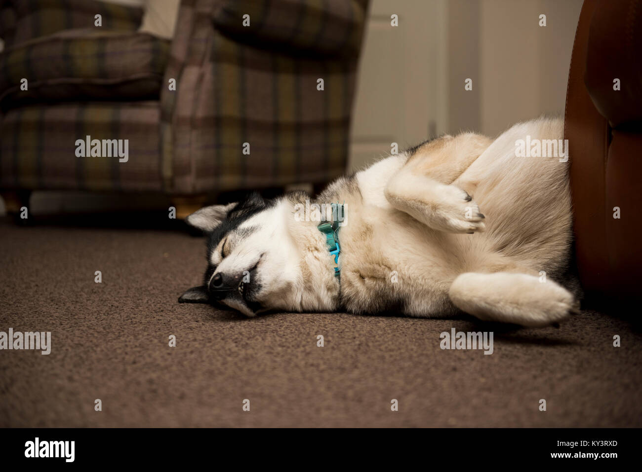 Sleeping husky dog lazing on the carpet next to settee. Paws in the air looking very relaxed. - Stock Image
