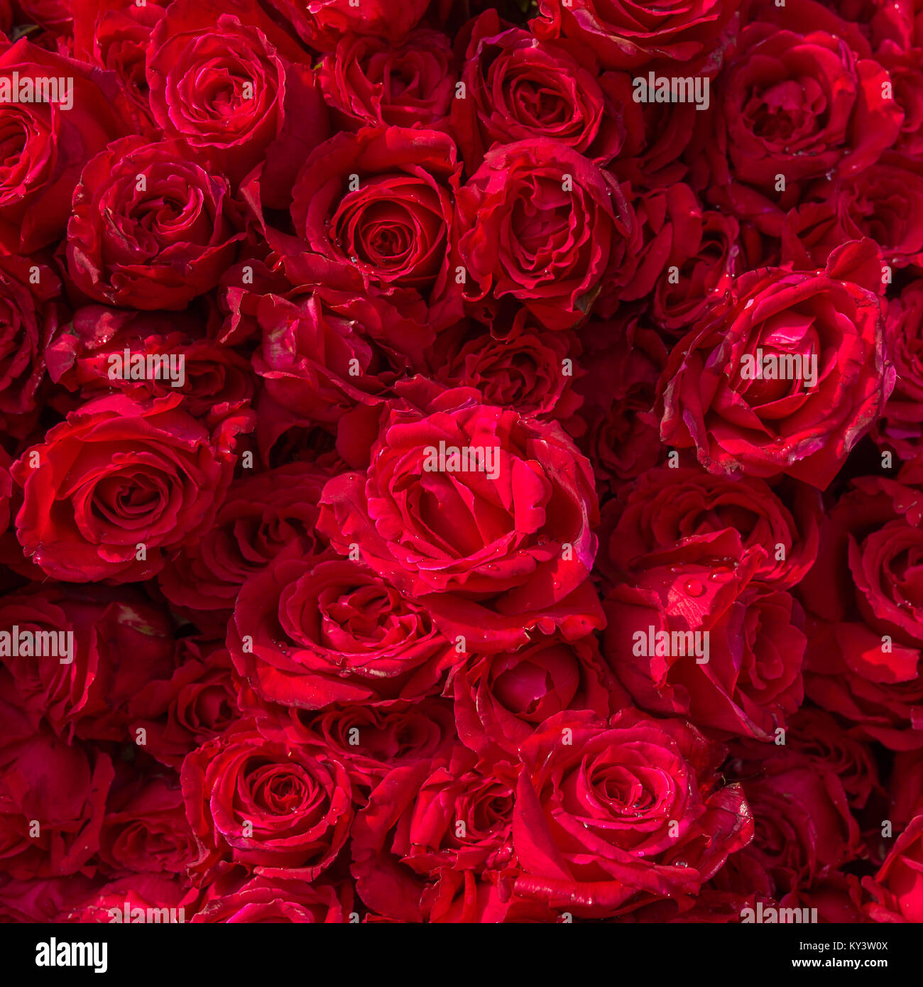 Beautiful red roses water drops stock photos beautiful red roses beautiful red roses with rain drops stock image izmirmasajfo