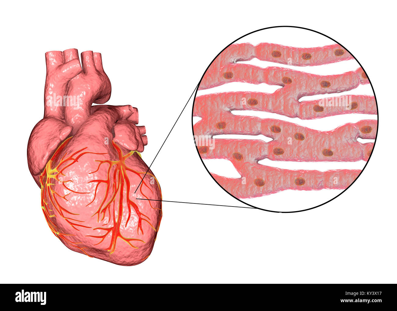 Heart,computer illustration.The heart is a hollow sac (lower frame ...