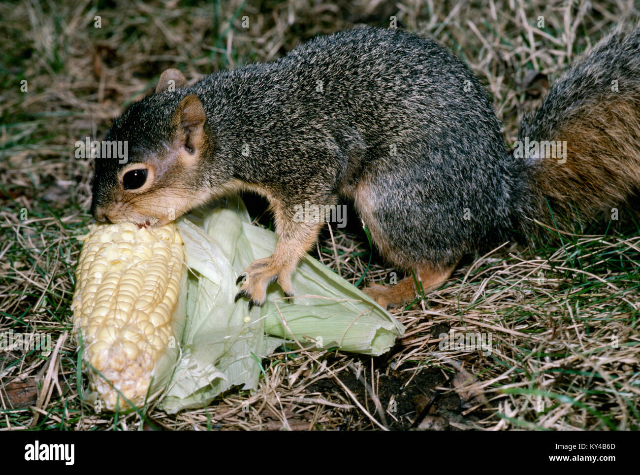 Young squirrel, Sciuridae, eating corn on the cob in grass, USA - Stock Image