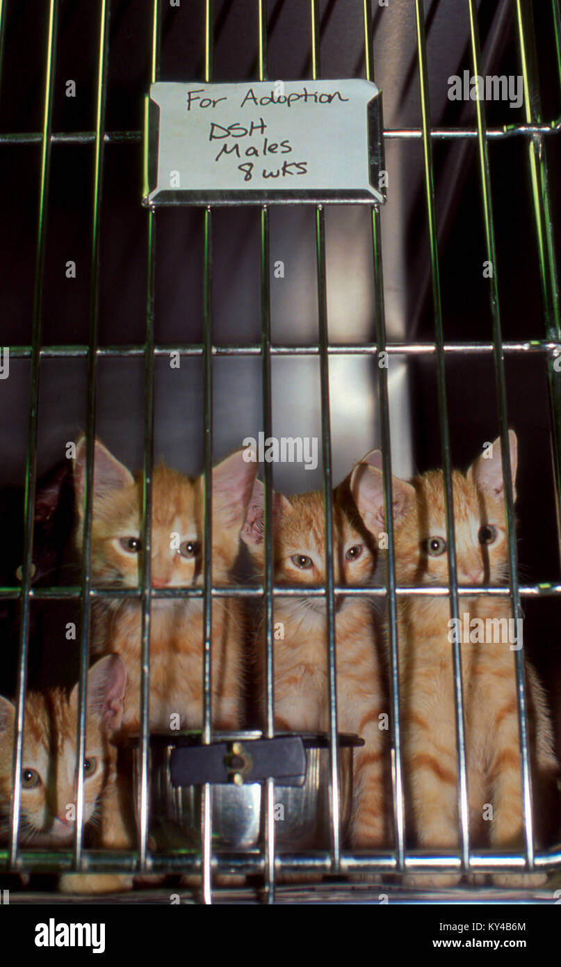 Kittens, Felis catus, for adoption in cage, Missouri, USA - Stock Image