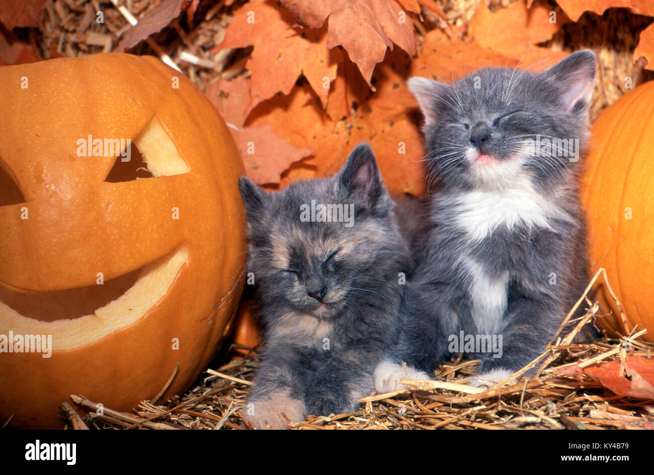 Two grey kittens, Felis catus, asleep by jack-o-lantern, Missouri - Stock Image