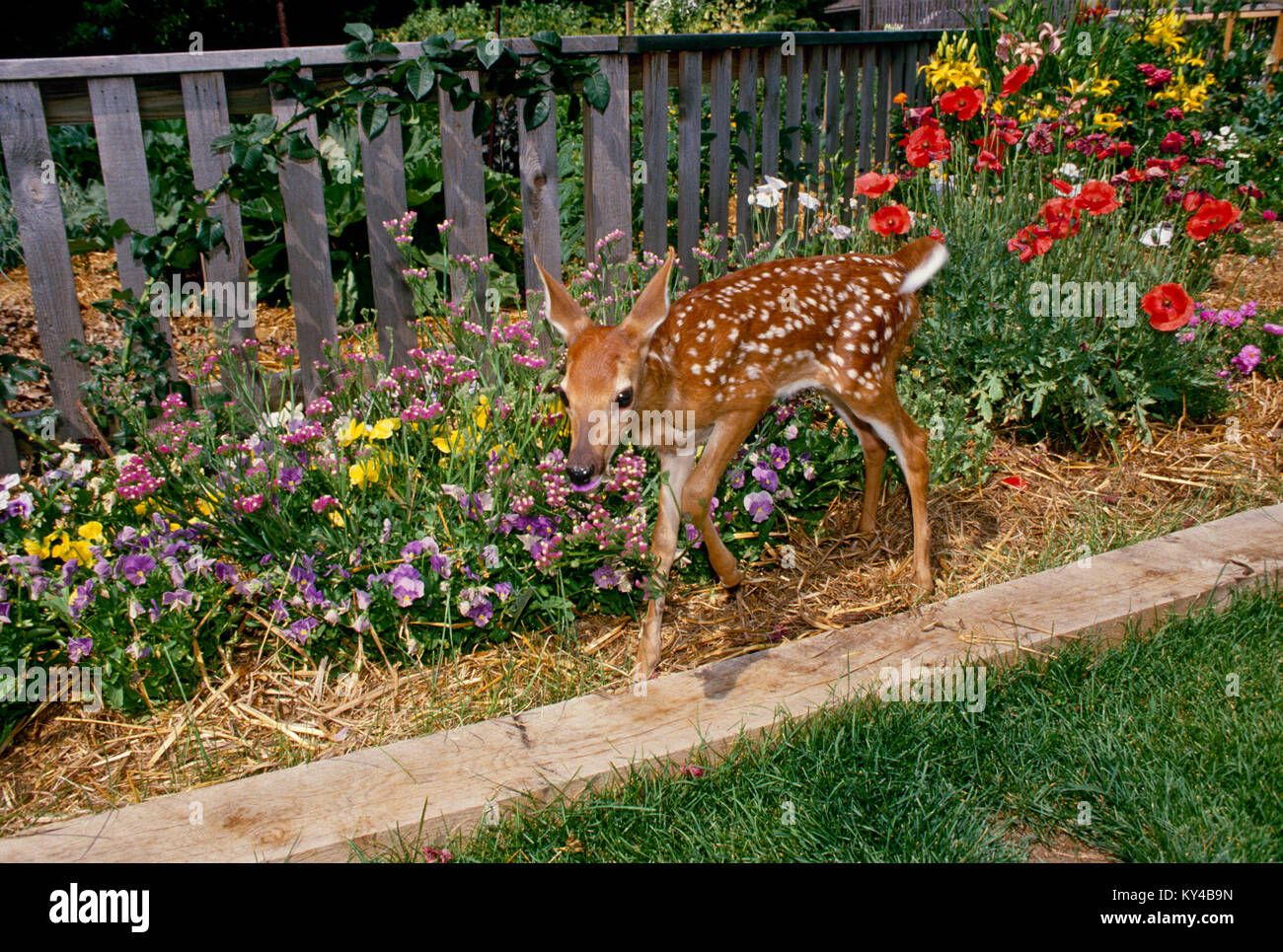Baby White tailed deer, fawn, Odocoileus virginianus, tasks the pansies in the blooming summer flower garden, Missouri Stock Photo