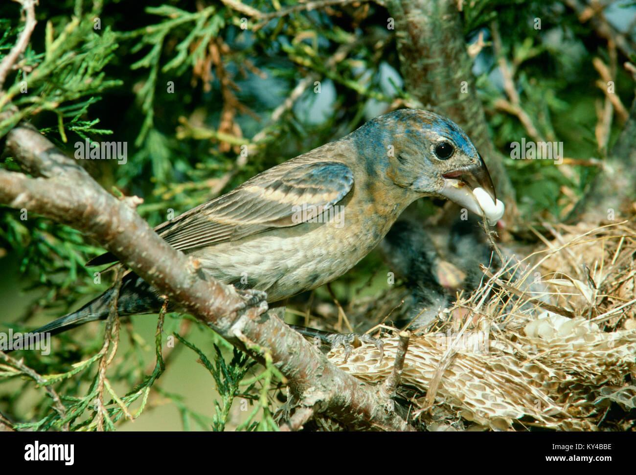 Female Blue Grosbeak mother, Passerina caerulea, takes fecal sac from nestlings in unusual  nest -- straw and snakeskin - Stock Image