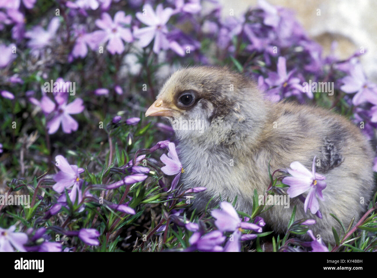 Adorable gray chick (Gallus gallus) in lavender phlox (Phlox stolonifera) in springtime, Missouri, USA. - Stock Image