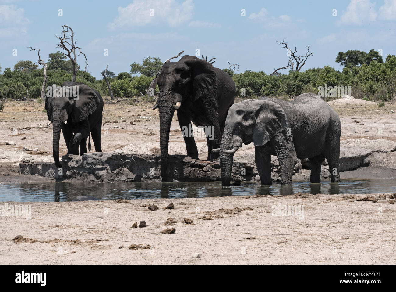 Elephant group at a waterhole in Chope National Park in Botswana - Stock Image