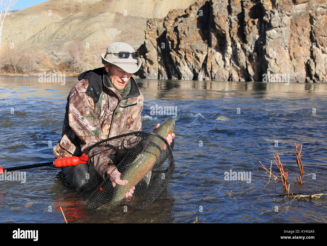 man catching a large steelhead trout - Stock Image