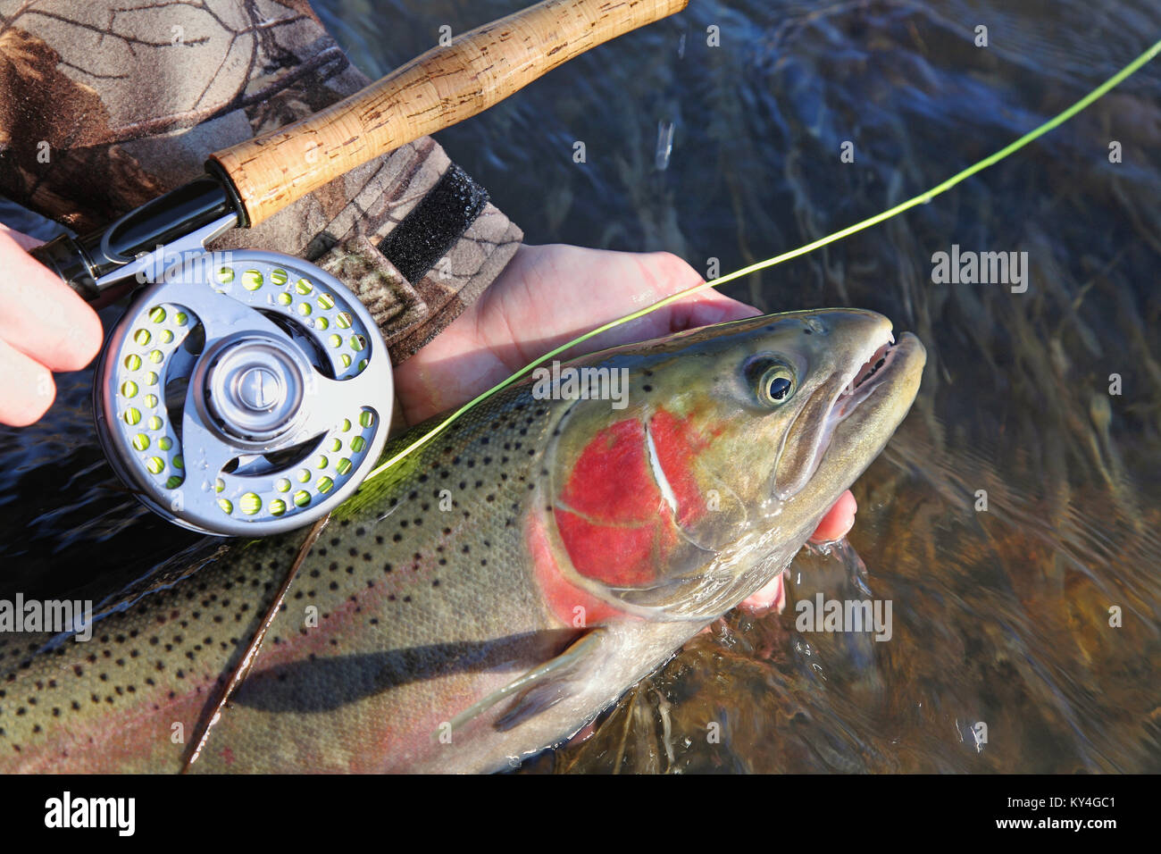 closeup fisherman holding steelhead trout and fly rod - Stock Image