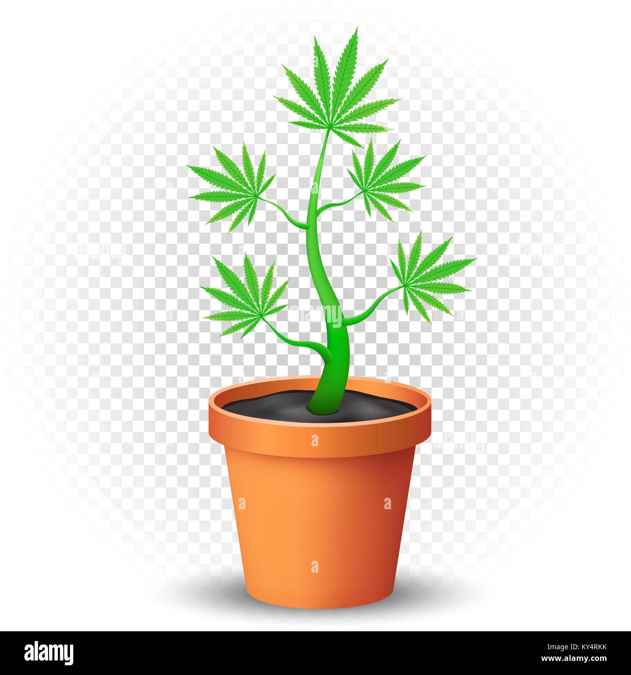 cannabis plant grows in flowerpot - Stock Image