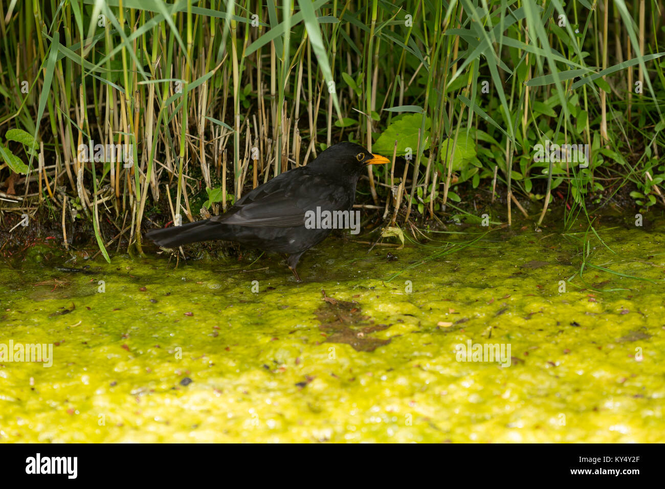 Common blackbird looking foraging in a swamp - Stock Image