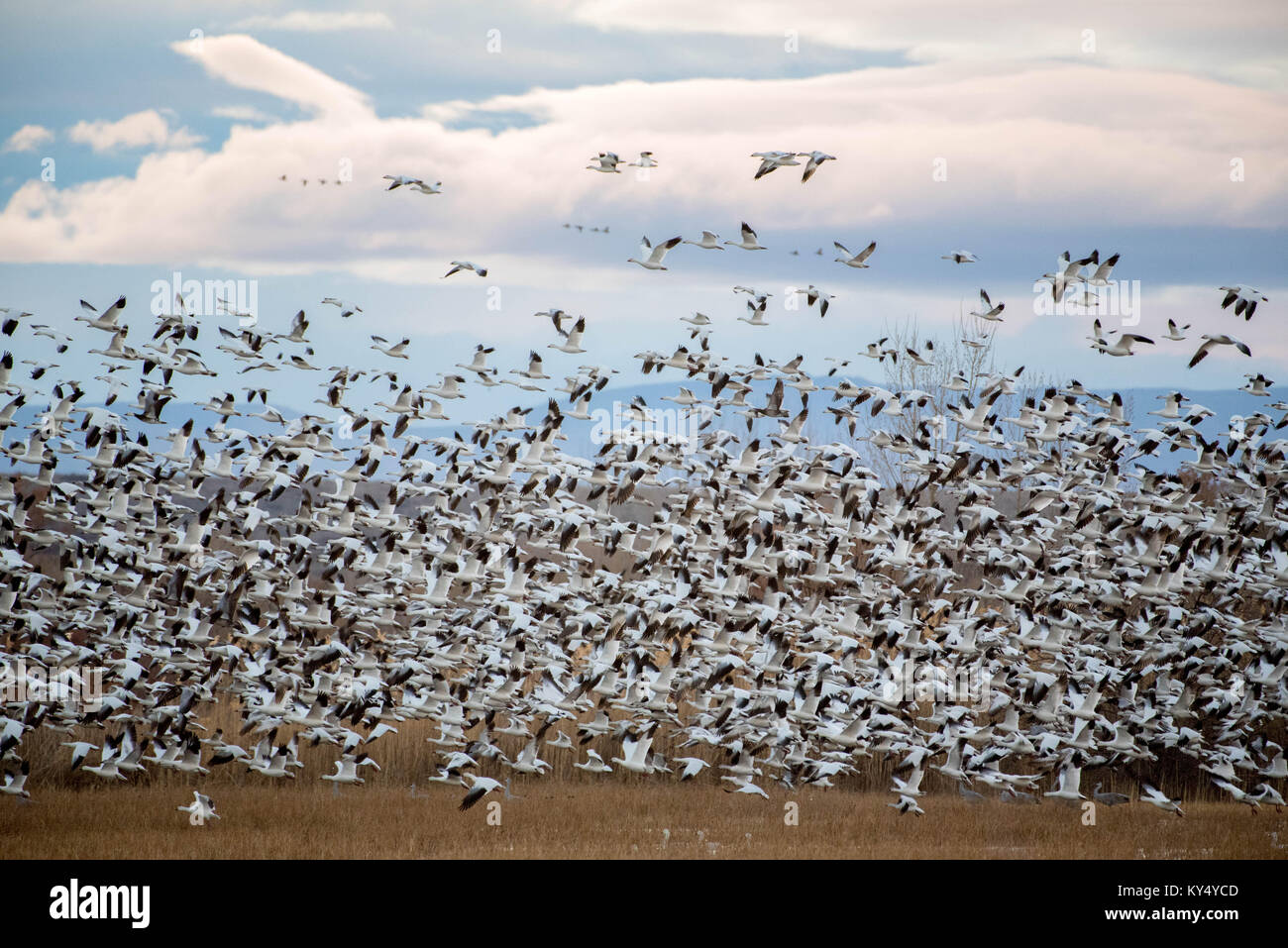 Snow Geese, (Chen carelessness), Bosque del Apache National Wildlife Refuge, New Mexico, USA. - Stock Image