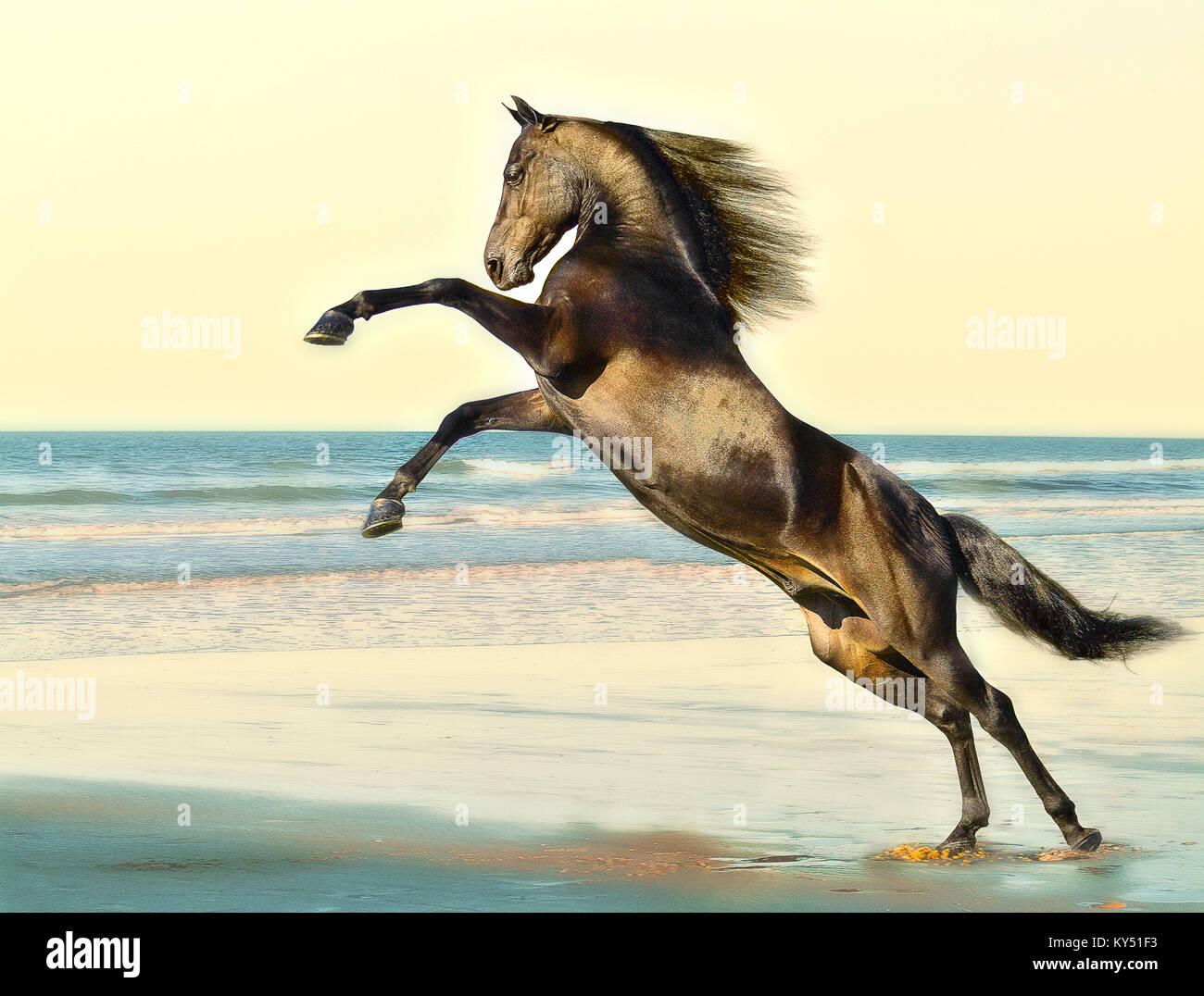 Morgan Horse stallion - Stock Image