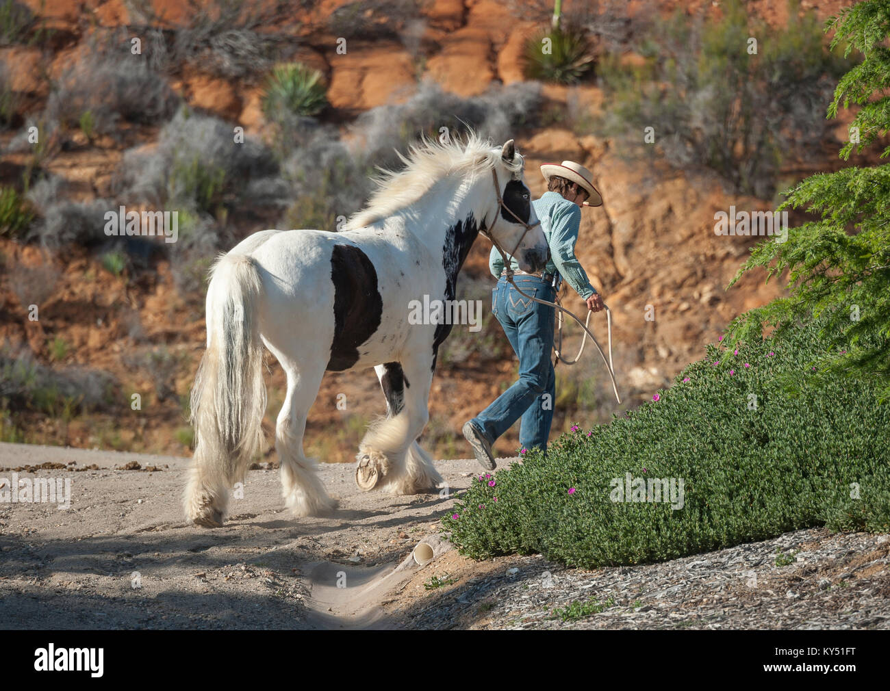 Woman leading Gypsy Vanner Horse Stallion up mountain trail raod - Stock Image