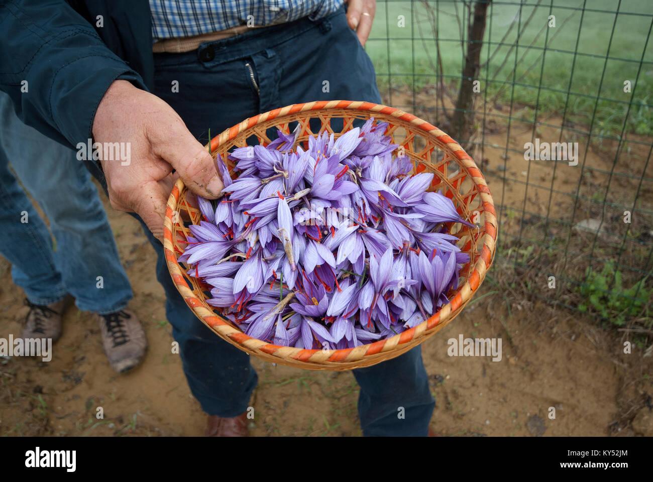 Flowers of saffron (Crocus sativus), Città della Pieve, Umbria, Italy - Stock Image
