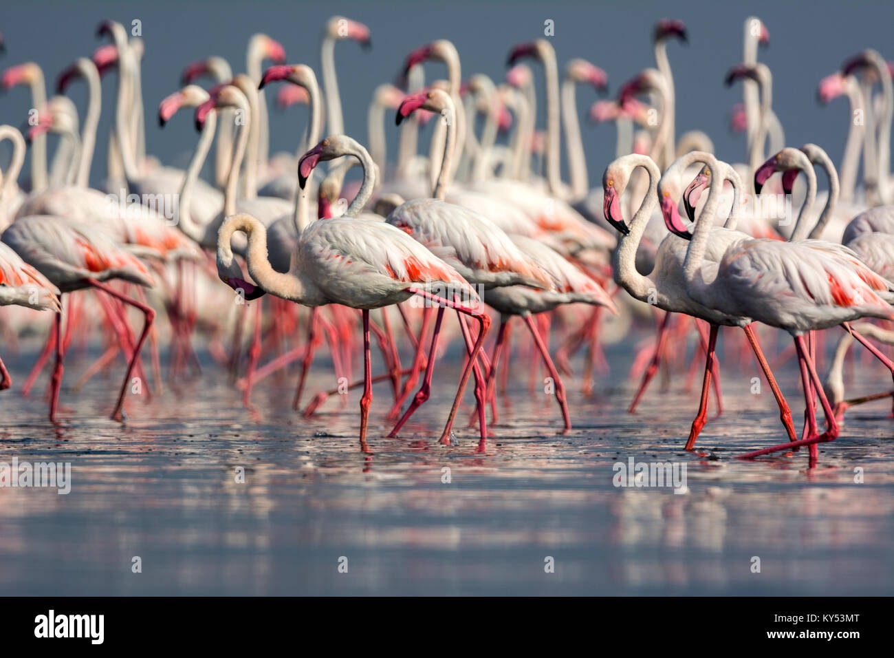 Greater Flamingos - Stock Image