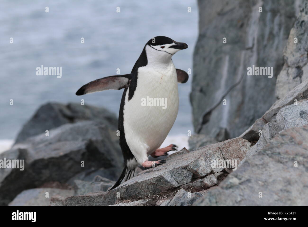 Hopping Chinstrap Penguin in Antarctica - Stock Image