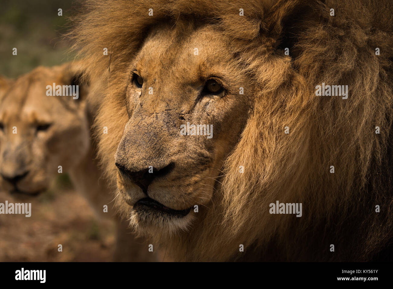 Lion and lioness gazing at safari park - Stock Image