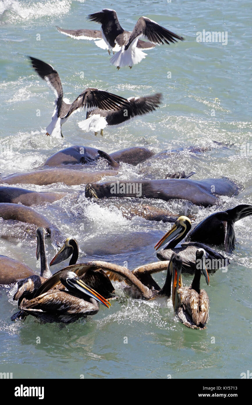 Sea gulls, sea lions, and brown pelicans scramble for fish scraps tossed into harbor by local fishermen at San Antonio, Stock Photo