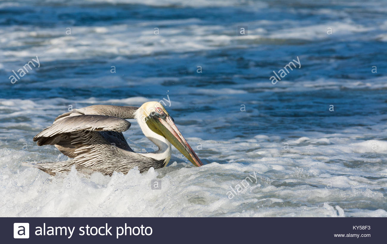 Brown Pelican with its wings partially extended as it navigates rough ocean waters near the shore of Los Ayala beach. - Stock Image