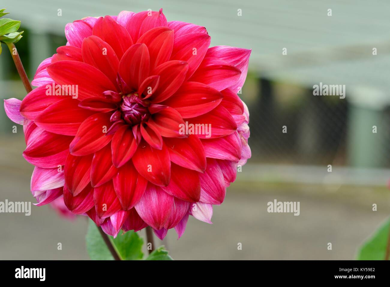 Vibrant large red Dahlia flower in a residential garden, Maleny, Queensland, Australia - Stock Image
