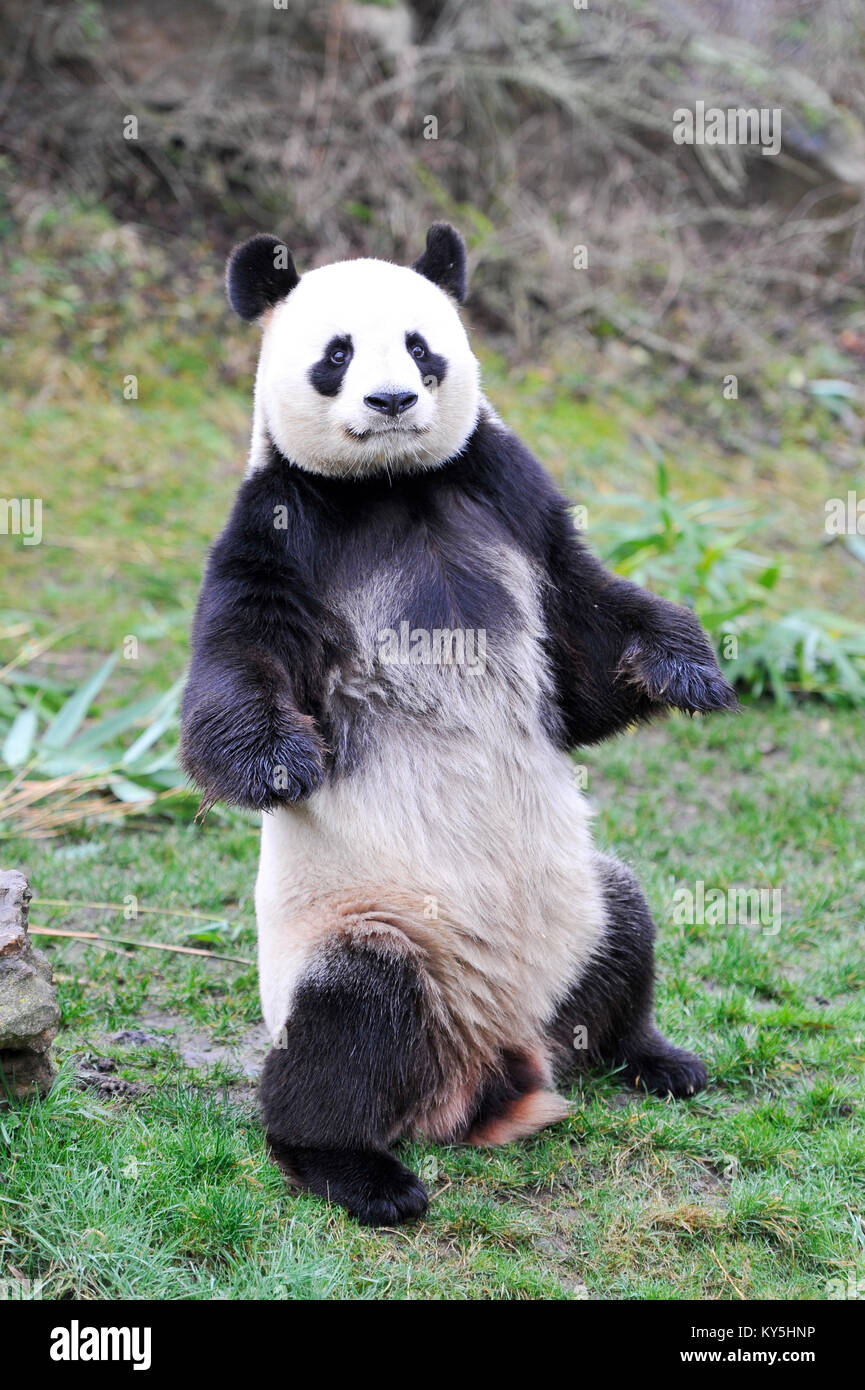 Saint Aignan. 13th Jan, 2018. Photo taken on Jan. 13, 2018 shows the male giant panda 'Yuan Zi', the father - Stock Image