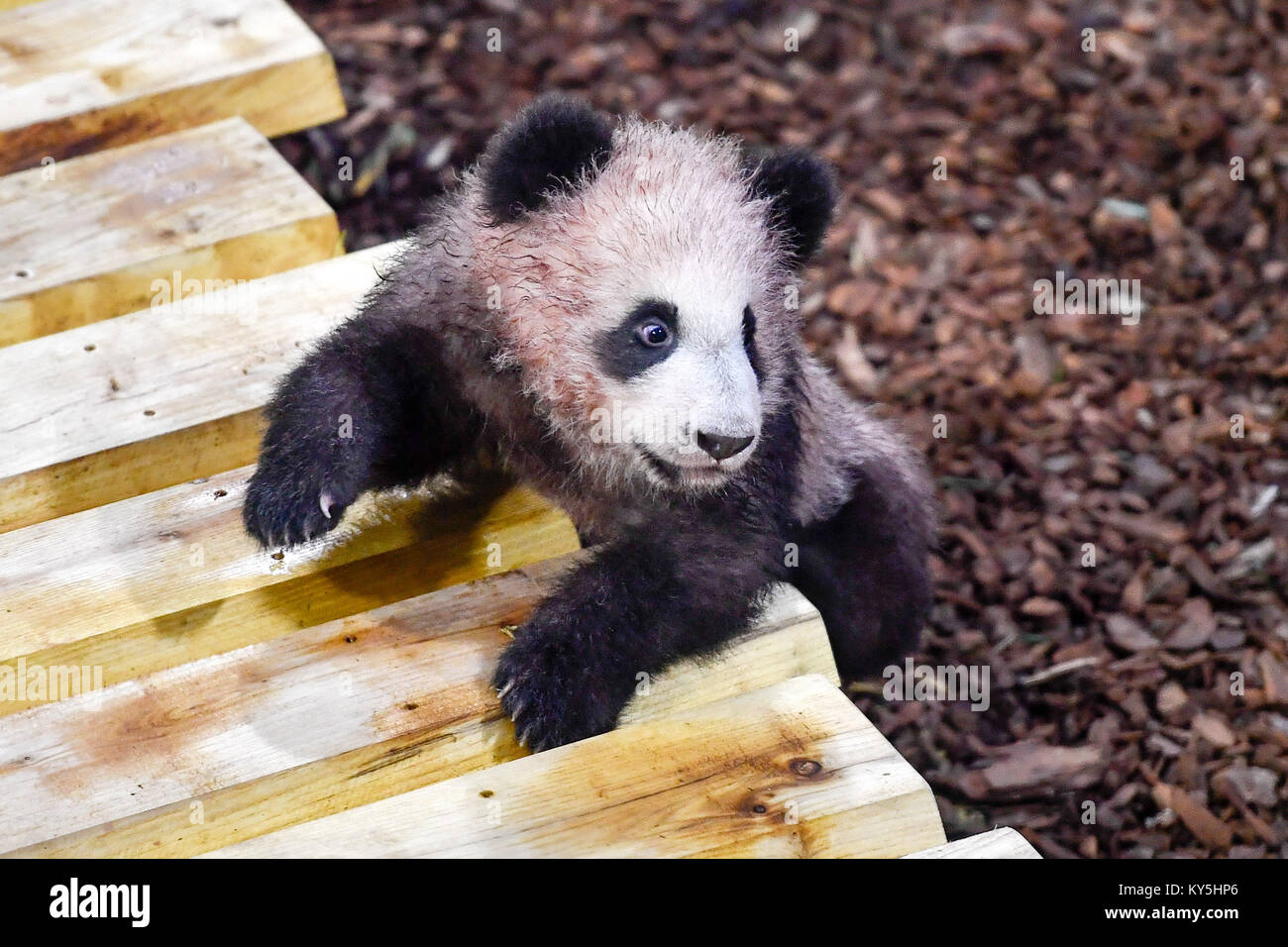 Saint Aignan. 13th Jan, 2018. Photo taken on Jan. 13, 2018 shows the panda baby 'Yuan Meng' in Zooparc de - Stock Image