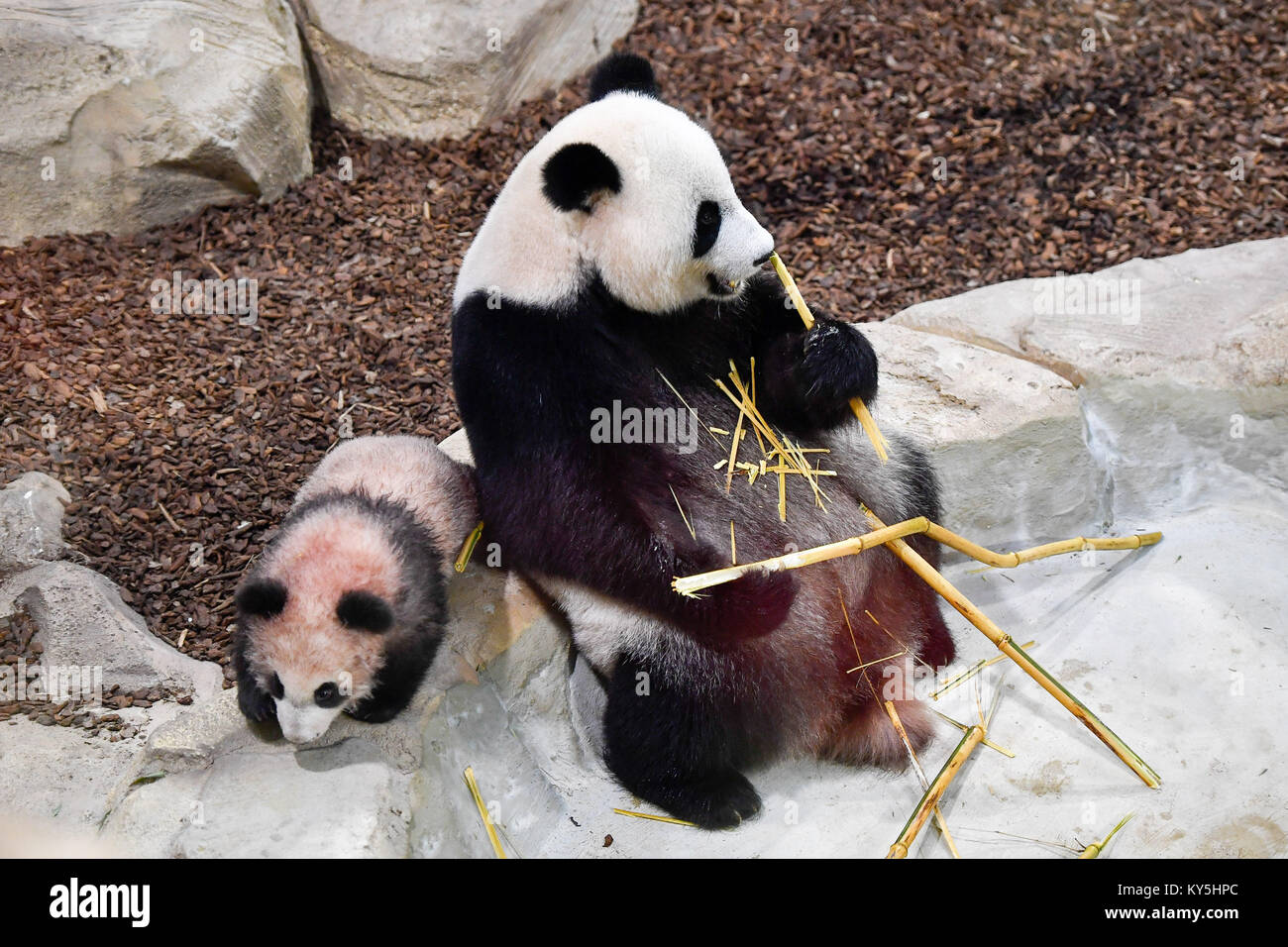 Saint Aignan. 13th Jan, 2018. Photo taken on Jan. 13, 2018 shows the panda baby 'Yuan Meng' and his mother - Stock Image